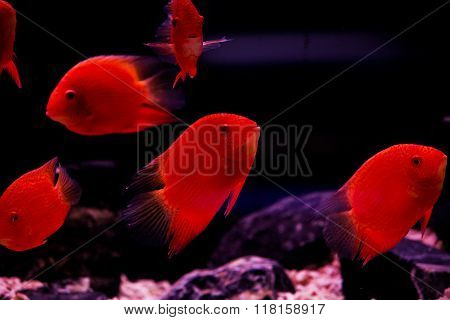 red cichlid fish ruby red peacock fish