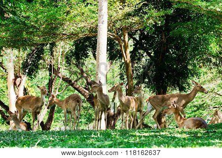 Whitetail Deer Bucks in summer velvet standing in an opening in the woods.