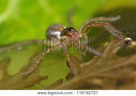 Pirata piraticus wolf spider on water surface