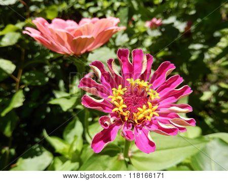 Perennial daisy flowers