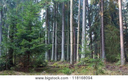 Coniferous Stand Of Bialowieza Forest In Morning