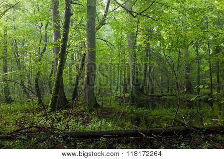 Old Oak And Hornbeams In Late Summer Deciduous Stand Of Bialowieza Forest