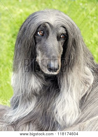 Typical  Very Old  Black Afghan Hound In The Garden