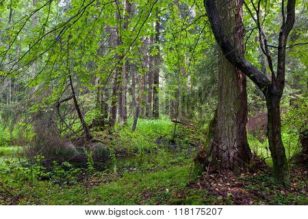 Rich Riparian Mixed Stand Of Bialowieza Forest