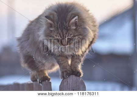 Siberian persian cat on wood fence. Fluffy brown cat looking down. Snowflakes sunset lights