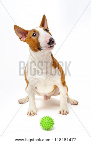 Bull terrier with green ball
