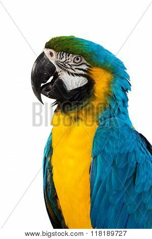 Blue and yellow Macaw isolated on white background