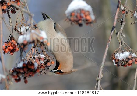 Upside Down Waxwing Eats Ashberries At Rowan-tree