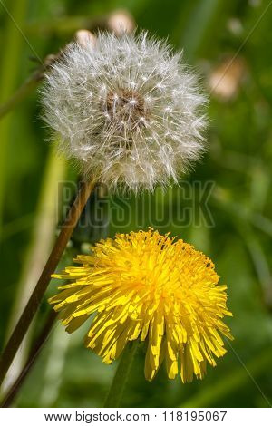 Two Dandelion - One Blooming, The Other In Fluffy Parachutes.