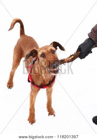 Red Nose Irish Terrier Dog Gnaw Chew Stick