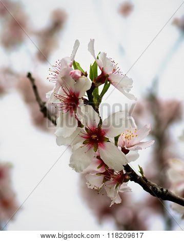 Beauty Cherry Blossom