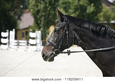 Side View Portrait Of A Beautiful Show Jumping Horse During Work
