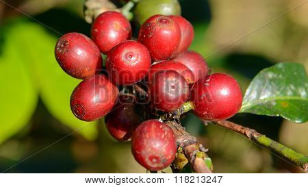 Coffee Tree With Coffee Cherry In Plantation Field.