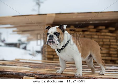 English Bulldog guards winter storage