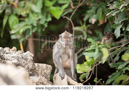Young long-tailed monkey in tropical forest