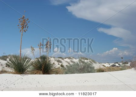 Desert vegetation on white sand dunes