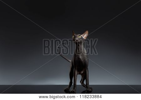 Sphynx Cat Stands And Looking Up On Black