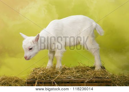 Newborn white baby goat standing on a wooden crate