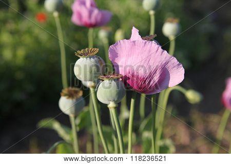 Opium Poppy
