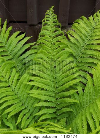 Fiddle Head Fern