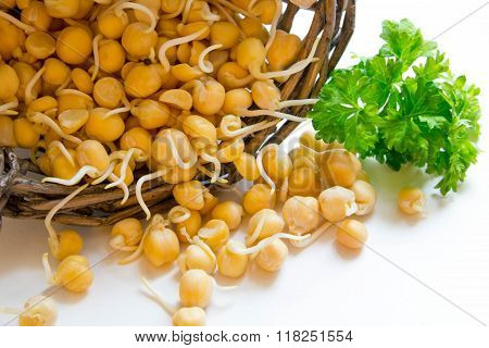 Sprouted Chickpea Is A Source Of Antioxidants, Used For Cooking Healthy Food, Rich In Proteins And V
