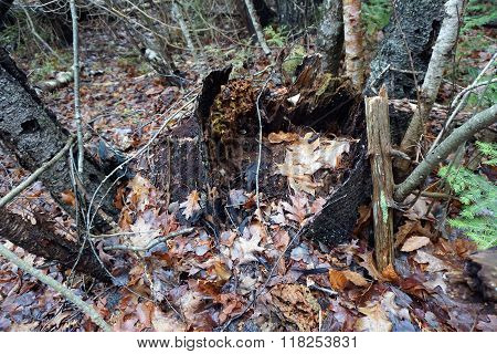 Rotted Stump