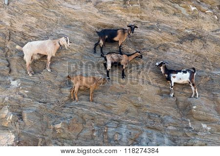 Sheep With Horns Climbing On Mountain Over Agia Theodoti Beach Ios, Cyclades Greece