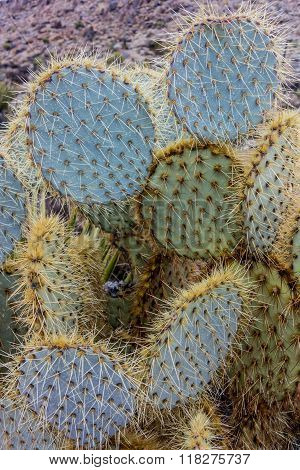Cactus After The Rain
