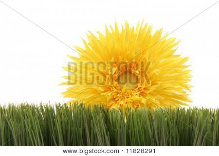 Yellow gerbera daisy behind green grass