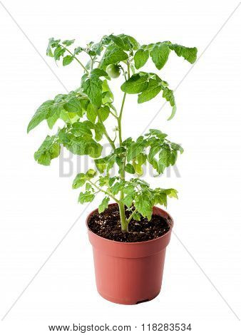 young tomato seedling isolated on white background