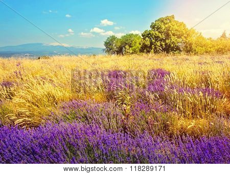 Wild lavender field at sunset, Provence