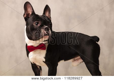 side portrait of french bulldog puppy wearing a red bowtie while looking away in studio background