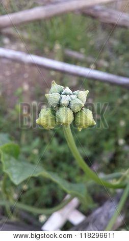bud Sponge Gourd flower in garden
