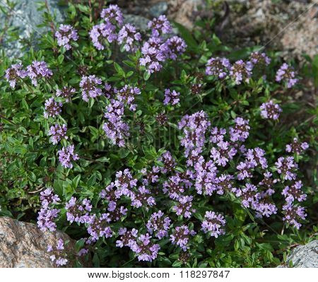 Thyme Blossom
