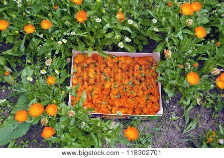 Calendula Marigold Blooms Collected In A Wooden Box