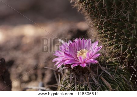 White, pink and yellow cactus flower