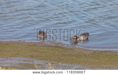Green winged teal, Anas crecca, a waterfowl bird