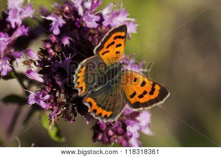 a common copper pollinating ba purple flower