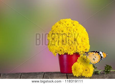 Yellow Chrysanthemum Flowers And Butterfly