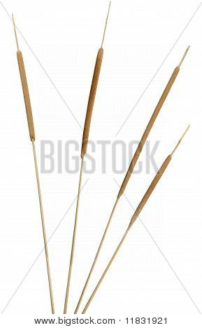Cattails on White