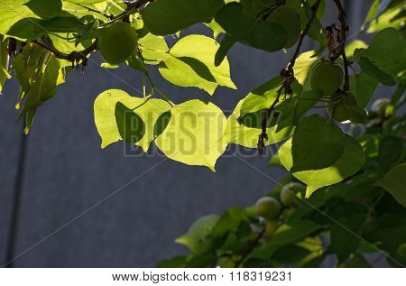 Close-up Of Apricot Young Leaves On Dark Background.