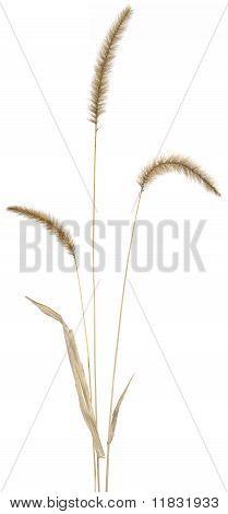 Fountain Grass on White