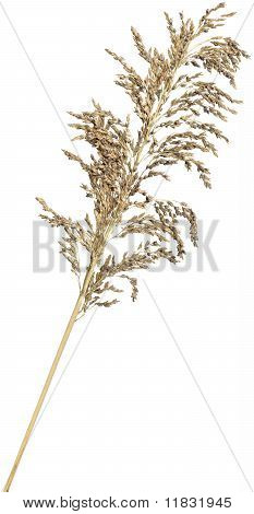 Reed on White