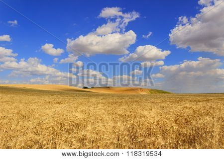 Summertime: rural lanscape .Cornfield topped by clouds.Apulia (ITALY)