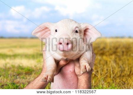 Farm piglet.