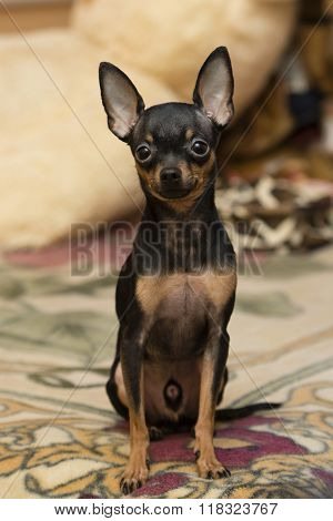 Rusian Toy Terrier