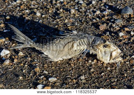 Skeleton Fish On The Sand