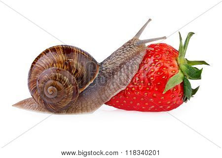 Garden snail creeping on red berry strawberry