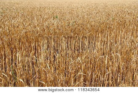 Stock photo of a texture of wheat field