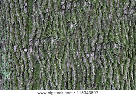 Photo of Texture of an old pine bark